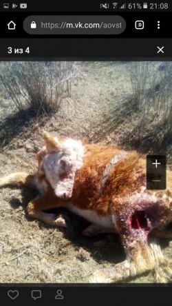 корова умирает