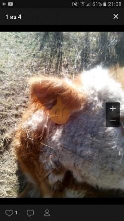 корова Кош-Агач